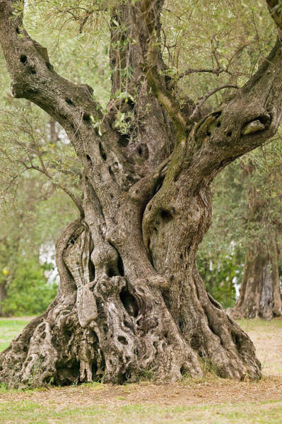 Wall Art - Photograph - Olive Tree Olea Europaea by Michael Melford