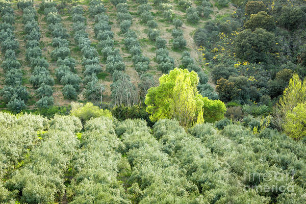 Wall Art - Photograph - Olive Trees 1 by Timothy Hacker