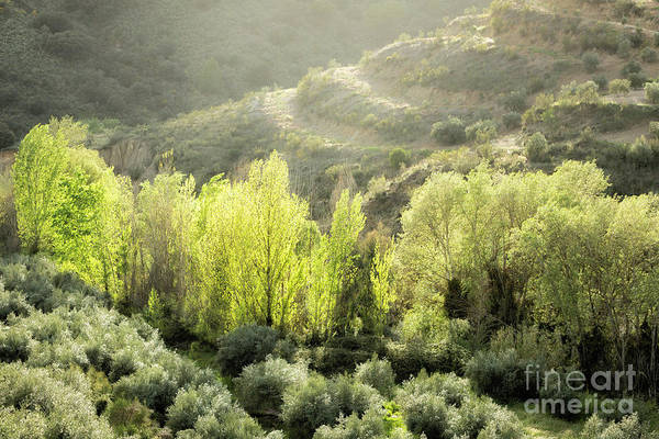 Wall Art - Photograph - Olive Trees 2 by Timothy Hacker