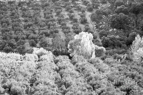 Wall Art - Photograph - Olive Trees Bw 1 by Timothy Hacker