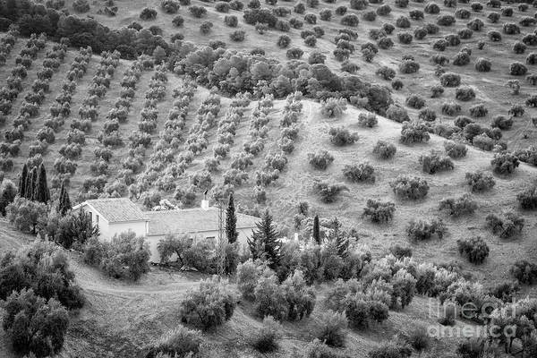 Wall Art - Photograph - Olive Trees Bw by Timothy Hacker