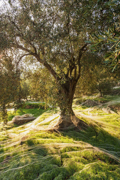 Wall Art - Photograph - Olive Trees During The Olive Picking by Maremagnum