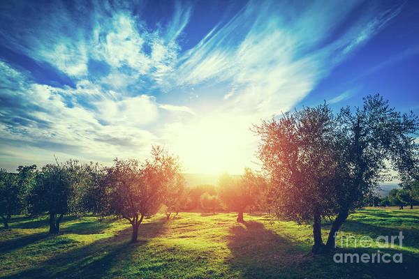 Wall Art - Photograph - Olive Trees In Tuscany, Italy. by Michal Bednarek