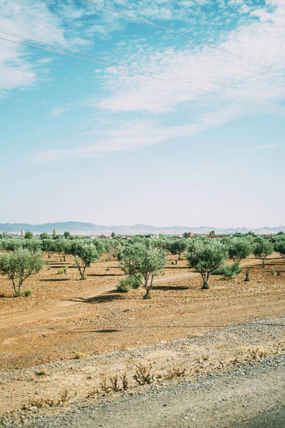 Wall Art - Photograph - Olive Trees Morocco by Pati Photography