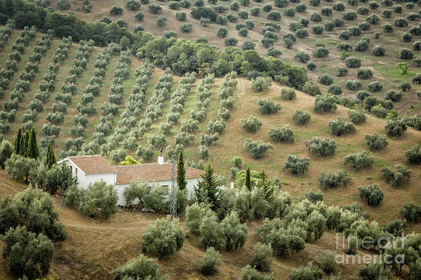 Wall Art - Photograph - Olive Trees by Timothy Hacker