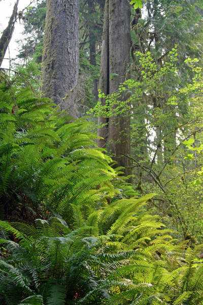 Photograph - Olympic National Park Ferns by Bruce Gourley