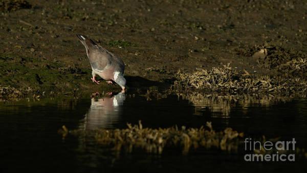 Photograph - ommon Wood-Pigeon Columba Palumbus Drinking by Pablo Avanzini