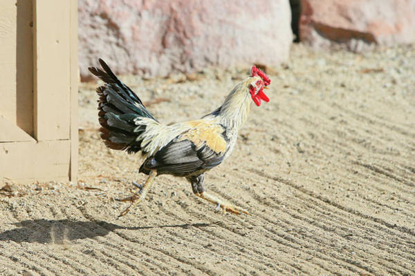 Chicken Feet Photograph - On The Run by Shoal Hollingsworth