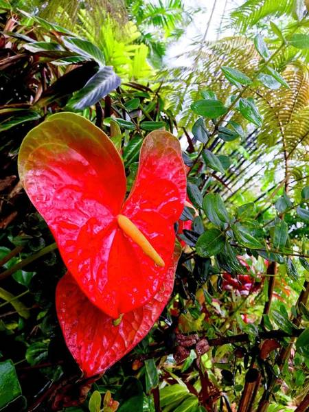 Photograph - One Anthurium Robin by Joalene Young