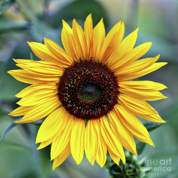 Photograph - One Bright Sunflower by Carol Groenen