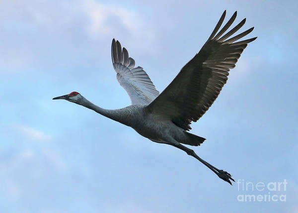 Photograph - One Flying Sandhill by Carol Groenen
