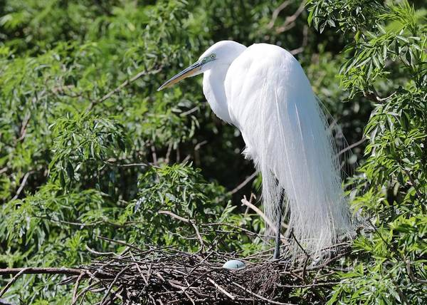 Wall Art - Photograph - One Great Egret With One Blue Egg by Carol Groenen