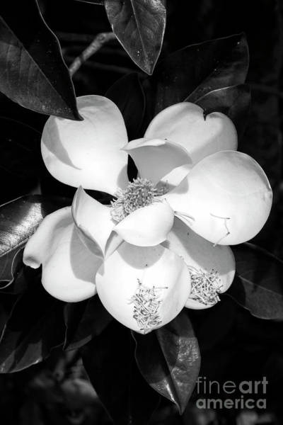 Photograph - One Large Magnolia In Black And White by Carol Groenen