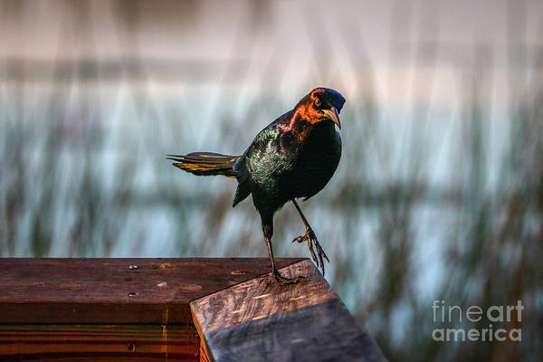 Photograph - One Leg Up Grackle by Tom Claud