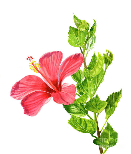 Wall Art - Painting - One Light Red Hibiscus Flower by Sharon Freeman