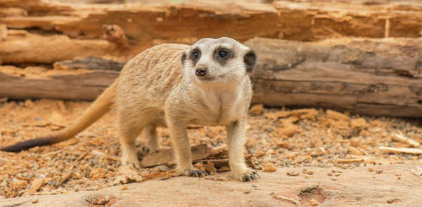 Photograph - One Meerkat Looking Around. by Rob D Imagery