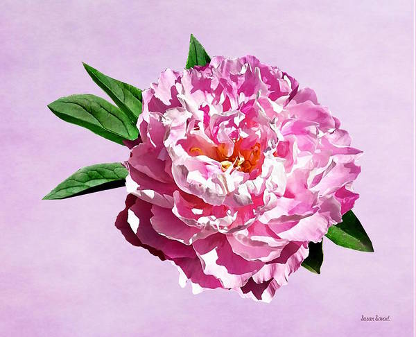 Photograph - One Pale Pink Peony by Susan Savad