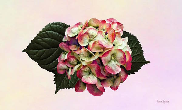 Photograph - One Pink And White Hydrangea by Susan Savad