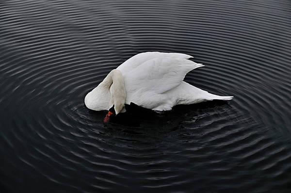 Babylon Photograph - One Talented Swan At Argyle Lake by Vicki Jauron, Babylon And Beyond Photography