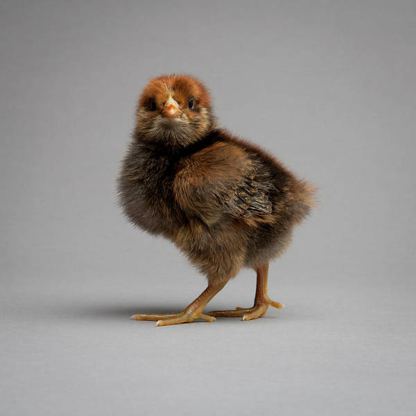 Wall Art - Photograph - One Week Old Easter Egger Chick by Neil Beckerman
