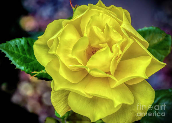 Photograph - One Yellow Rose by Janice Pariza
