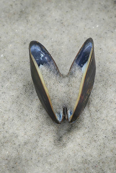 Photograph - Open Mussel by Cate Franklyn