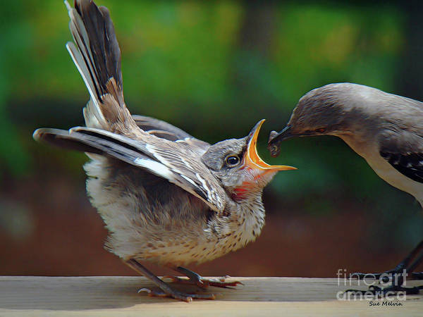 Mockingbird Photograph - Open Wide by Sue Melvin