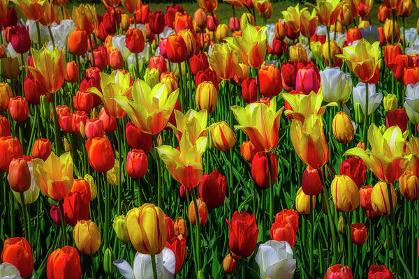 Wall Art - Photograph - Opulent Colorful Tulips by Garry Gay