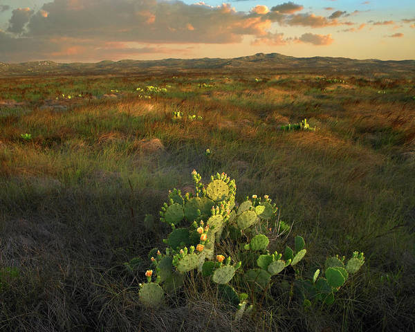 Photograph - Opuntia, Mustang Island State Park by