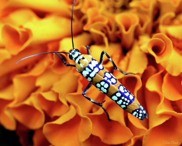 Photograph - Orange Ailanthus Webworm Moth by Trina Ansel