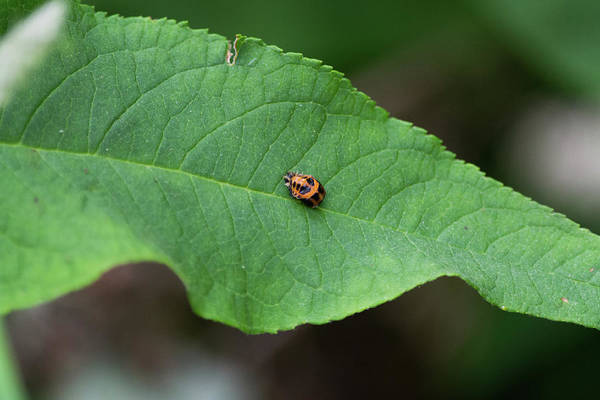 Photograph - Orange And Black Insect On Green Leaf by Scott Lyons