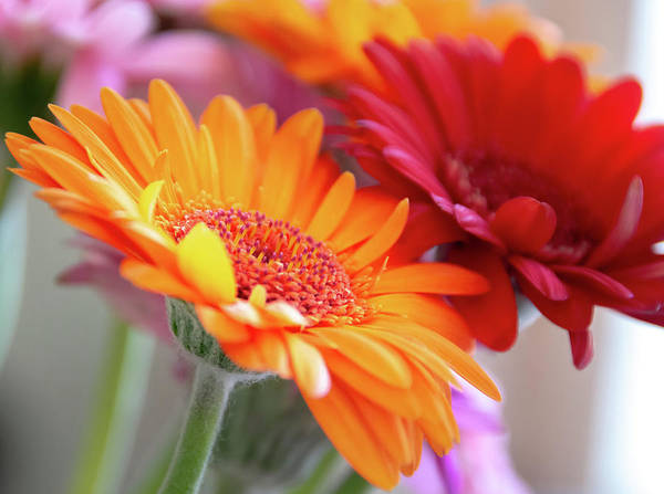 Photograph - Orange And Red Gerber Flowers by Scott Lyons