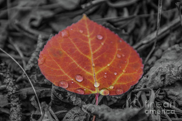 Photograph - Orange Aspen Leaf by Tony Baca