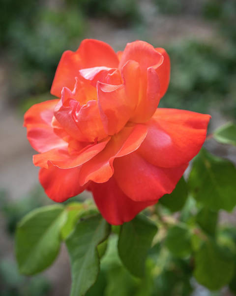 Photograph - Orange Beauty By Tl Wilson Photography by Teresa Wilson