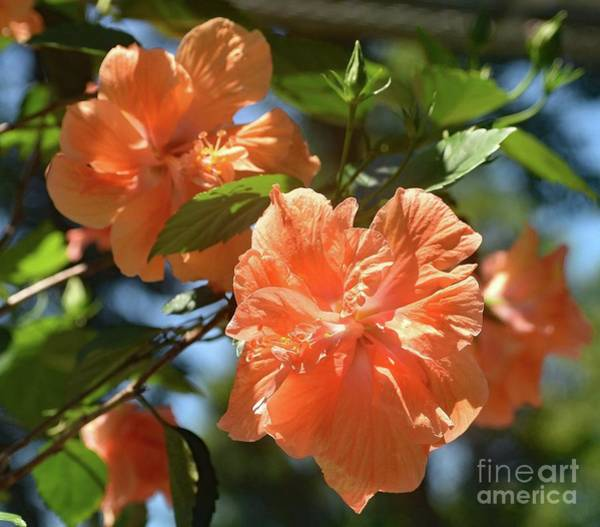 Mallow Family Wall Art - Photograph - Orange Beauty - Hibiscus by Cindy Treger
