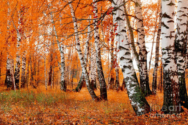 Wall Art - Photograph - Orange Birch Grove by Kirillov Alexey