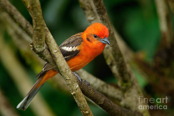 North American Wildlife Wall Art - Photograph - Orange Bird Flame-colored Tanager by Ondrej Prosicky