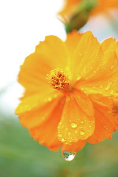 Wall Art - Photograph - Orange Bloom With Water Droplets  by Elizabeth Ramirez