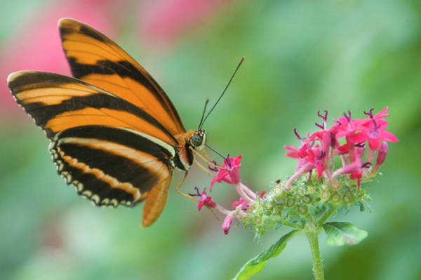 Orange Butterfly Feeding On Pink Flowers Art Print by By Ken Ilio