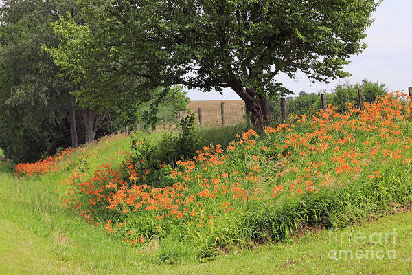 Photograph - Orange Day Lilies Along A Country Road by Paula Guttilla