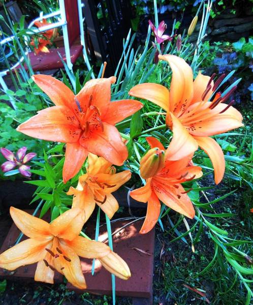 Hurricane Lily Photograph - Orange Delight by Lord Frederick Lyle Morris - Disabled Veteran
