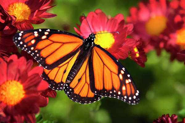 Photograph - Orange Drift Monarch Butterfly by Christina Rollo