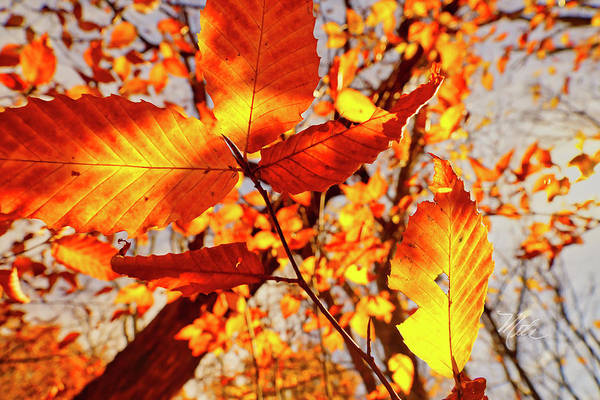 Photograph - Orange Fall Leaves by Meta Gatschenberger