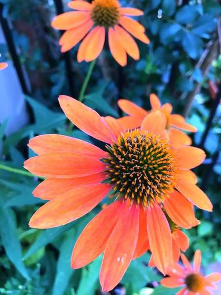 Wall Art - Photograph - Orange Flower In My Garden by Lord Frederick Lyle Morris - Disabled Veteran