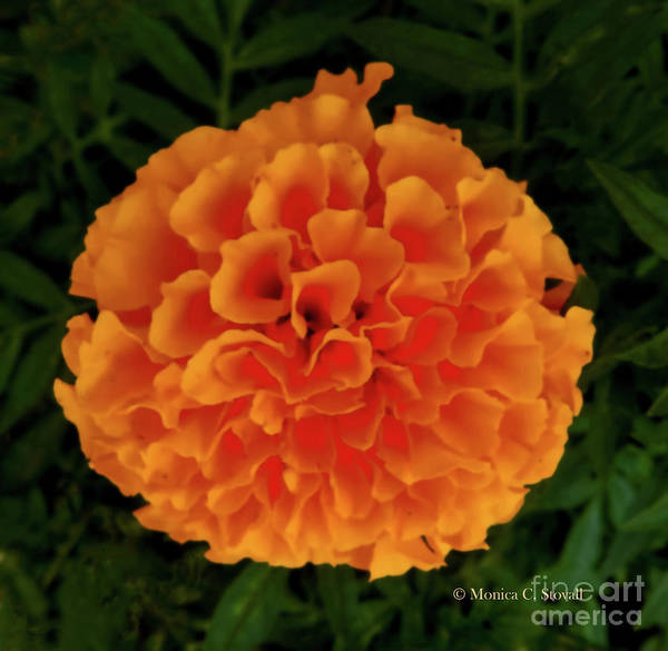 Photograph - Orange Flowers No. O15 by Monica C Stovall