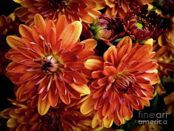 Photograph - Orange Flowers O12 by Monica C Stovall