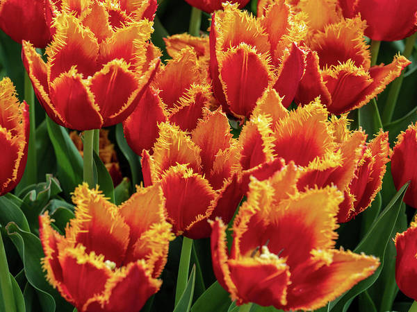 Photograph - Orange Fringe Tulips by Louis Dallara