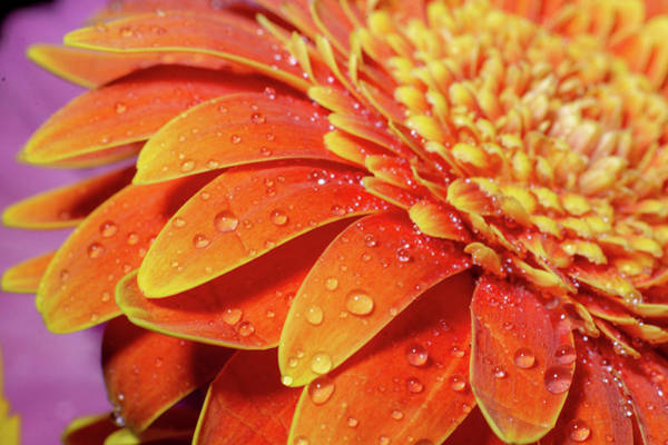 Photograph - Orange Gerber Daisy Petals by Jennifer Wick