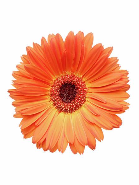 Daisy Photograph - Orange Gerbera Daisy by Mike Lorrig