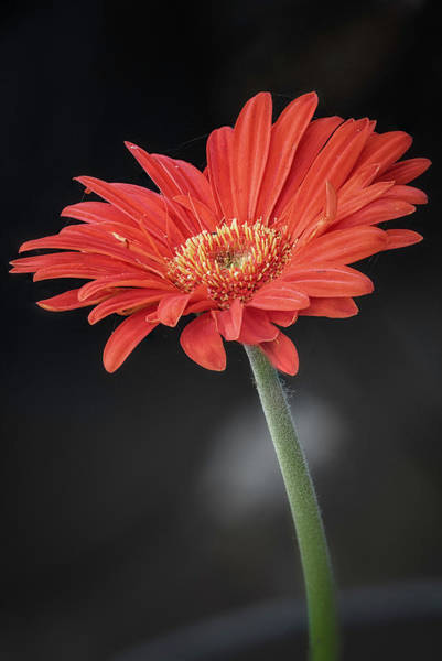 Wall Art - Photograph - Orange Gerbera by Robert Fawcett